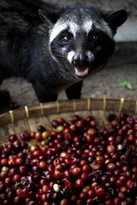 civet-coffee-4
